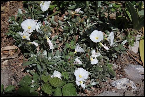 Convolvulus cneorum - liseron de Turquie 21831734099_0ca26ae2f8