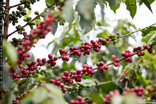 Coffee in Quindio Colombia | by yago1.com