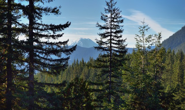Mount Adams Through the Trees in Box Canyon