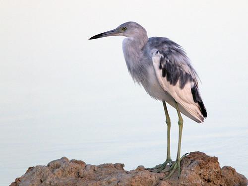Little Blue Heron immature 06-20170322