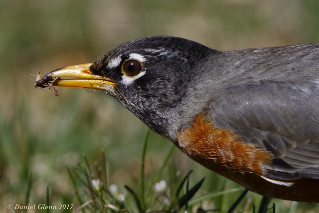 The industrious American Robin