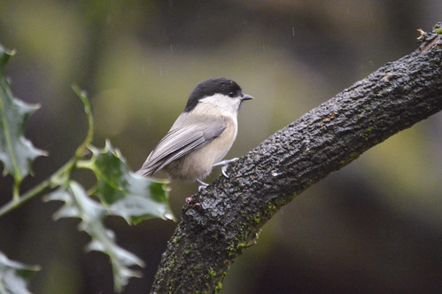 Willow Tit | by tim27w