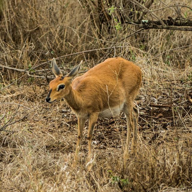 Steenbok, female