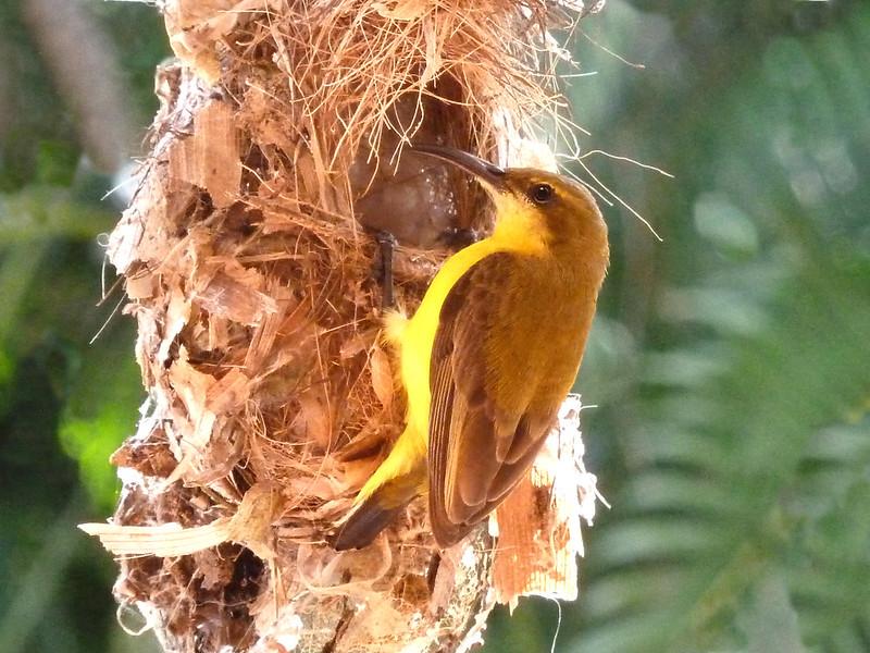 Olive-backed Sunbird female at nest entrance