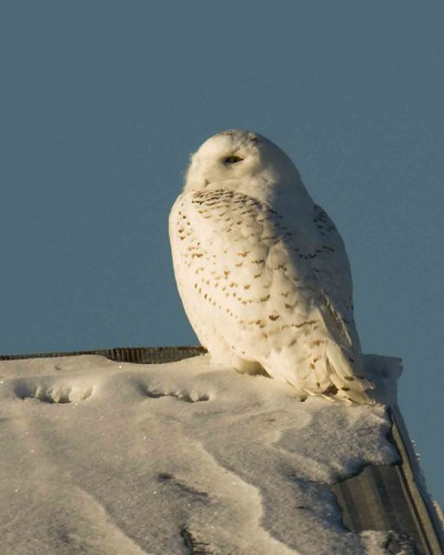 winter sunset white snow bird eye flight owl snowyowl harfang