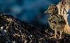 Black Oystercatcher Chick (Haematopus bachmani) by bcbirdergirl