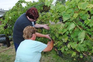 Rosewood Winery Merlot Grape Harvest, August 2016