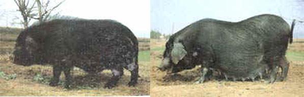 Thu, 01/19/2006 - 10:48 - Qingping pig breed