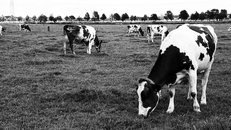 Cows doing their thing