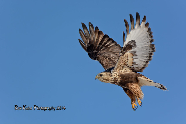 Rough-legged Hawk DSC_5239