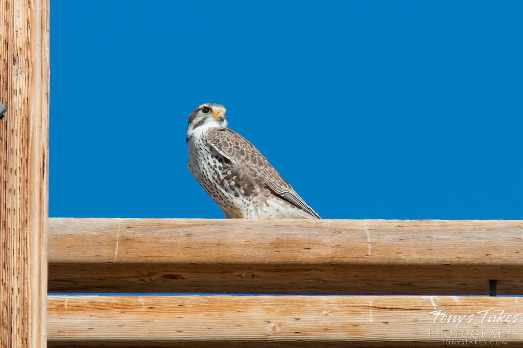 Prairie Falcon on the prairie