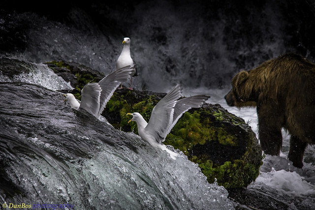 Gulls & Bear on the fall