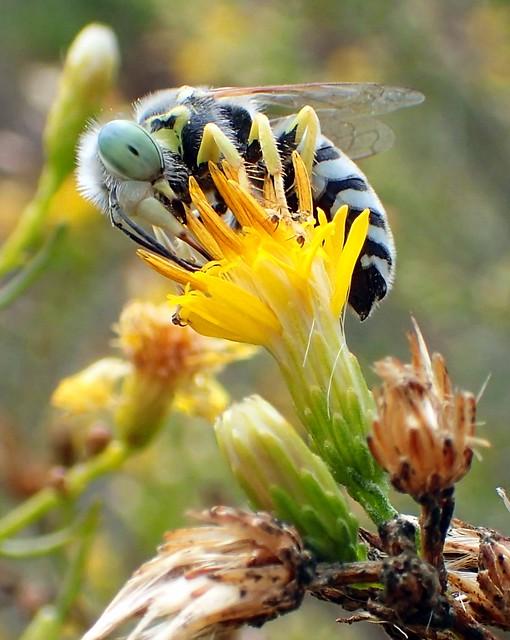 Sand Wasp (Bembix sp)
