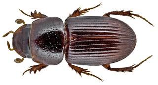 Pseudopharaphodius anthrax Gerstaecker, 1871 | by urjsa