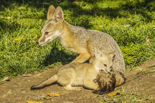 San Joaquin Kit Fox Kit Playing with Mother's Tail