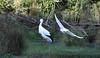 Oriental white stork by Thomas.Gut