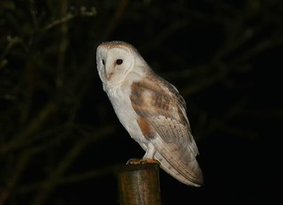 A Somewhat Damp Barn Owl Perhaps Tonight Was Not The Best Flickr