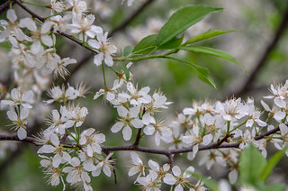 Apple Blossoms | by Andrea Pokrzywinski