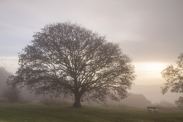 Tree and Bench, Newlands Corner