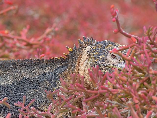 Iguana en la Isla Plaza Sur (Galápagos)