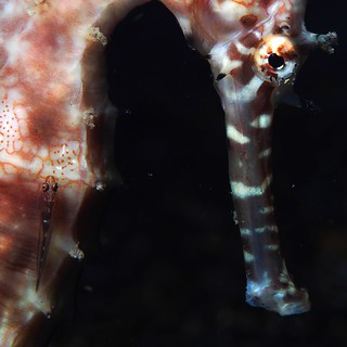 Thorny seahorse (Hippocampus histrix) with goby.