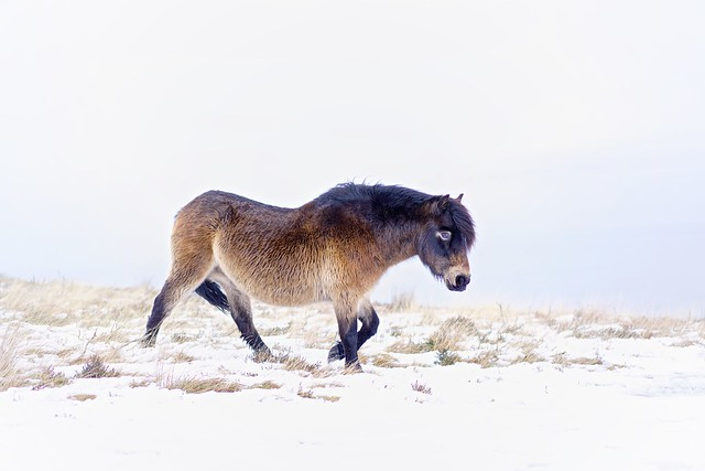 Exmoor Pony In The Winter Snow - Porlock, Devon