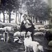 Bosanka ovcar
