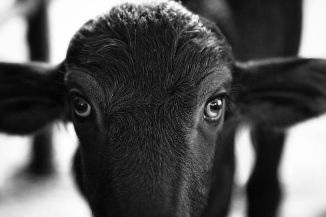 The eyes of a nearly newborn Buffalo