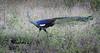 นกยูง Green Peafowl by somchai@2008