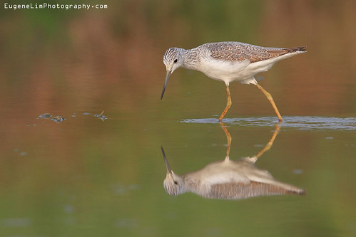 Common Greenshank | by EugeneLimPhotography.com