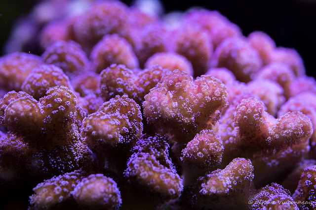 Coral / Corail SPS Stylophora Sp.