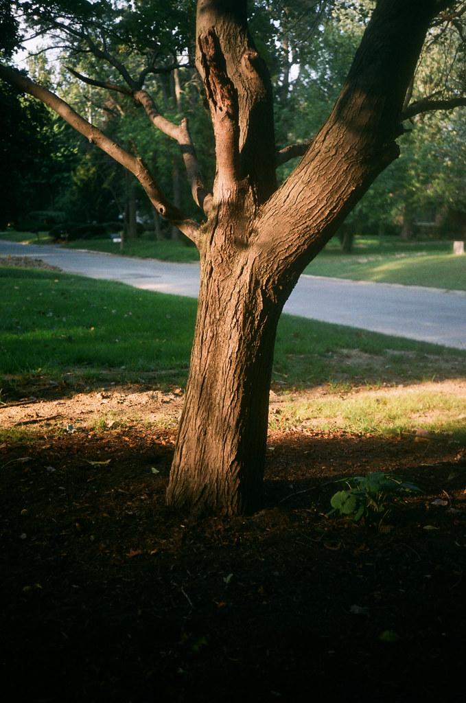 Front yard tree 1