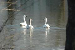 Tundra Swan, © Dick Cooper