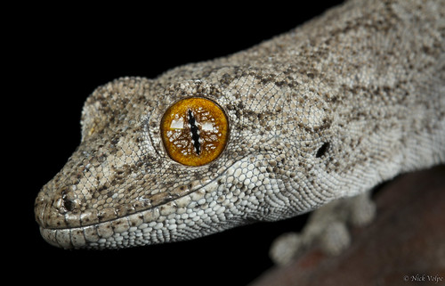 Southern Spiny-tailed Gecko (Strophurus intermedius) | by Nick Volpe