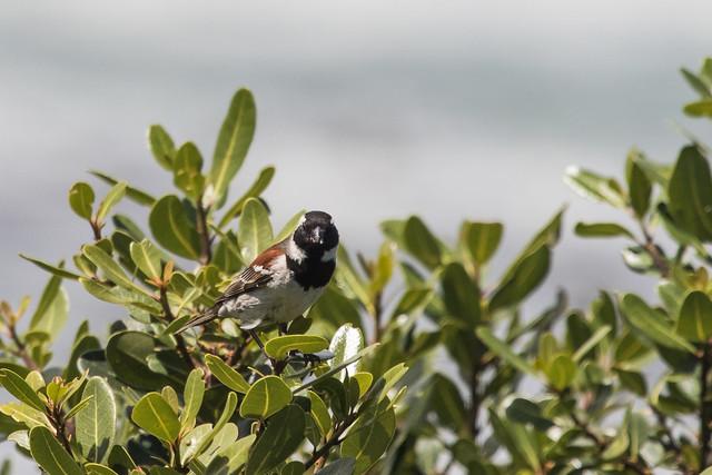 Cape Sparrow, Hermanus,  Western Cape,  South Africa