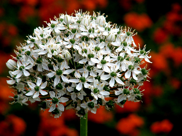 Allium or Ornamental Onion (03)