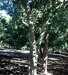Ficus rumphii