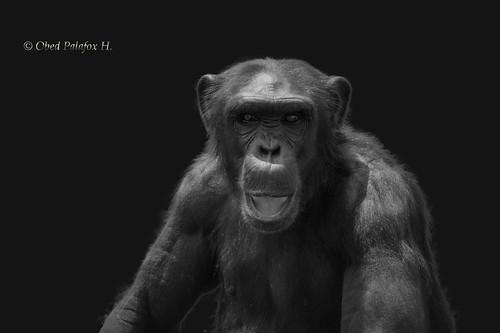 Gorila 2. En el zoológico Africam Safari. Puebla México