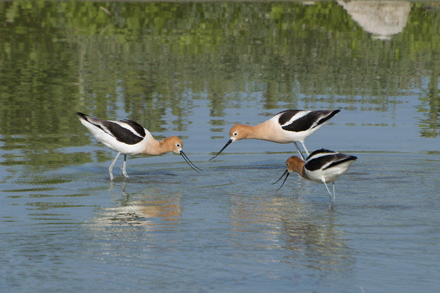 Three American avocets