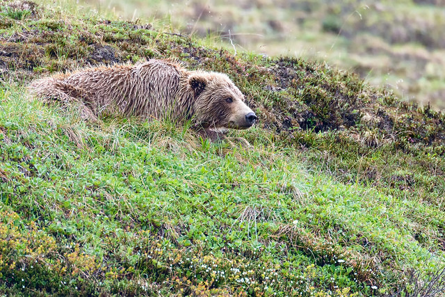 Grizzly Siesta