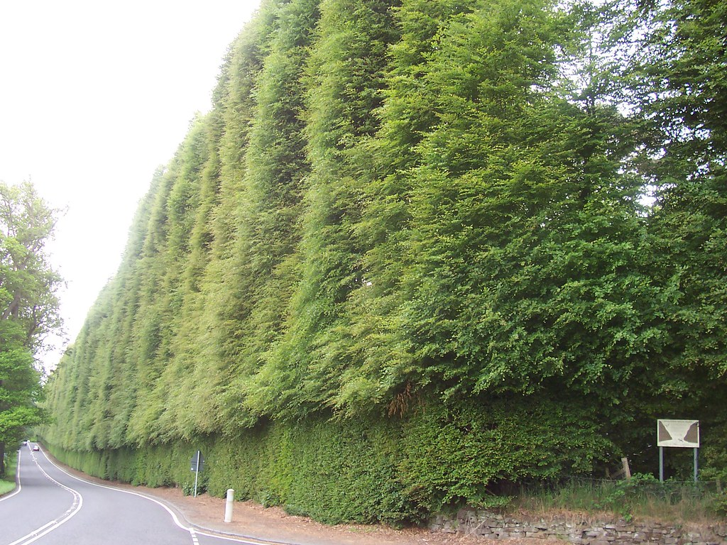 The Meikleour Beech Hedge. Scotland.