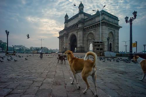 morning dog chien india dogs monument sunrise season day pigeon indian pigeons voigtlander hunting wide perro hund bombay gateway british mumbai taube indien 15mm voigtländer gatewayofindia inde m9 heliar tauben