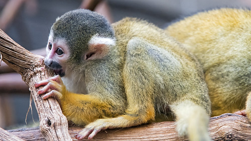 Squirrel monkey flat on the branch | by Tambako the Jaguar