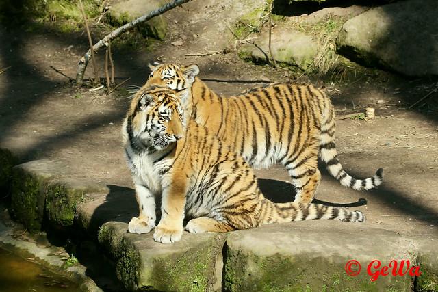Sibirische Tiger