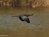 Little Cormorant (Microcarbo niger) by gilgit2