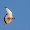 Lille Tårnfalk  (Falco naumanni) - Lesser Kestrel - Rötelfalke - Cernícalo Primilla by Søren Vinding