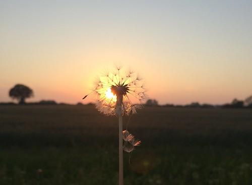 light sunset summer sun clock field evening norfolk seed dandelion seeds fields shining