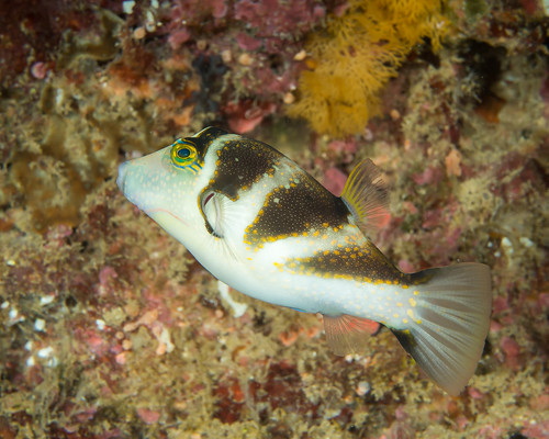 Crowned pufferfish (Canthigaster coronata)