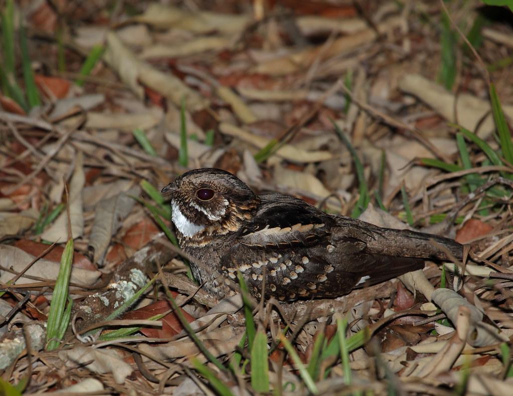 Little Nightjar/Bacurau-chintã/Atajacaminos chico (Caprimulgus parvulus)