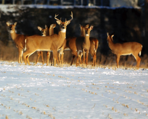 Photo of herd of deer on snow-covered field